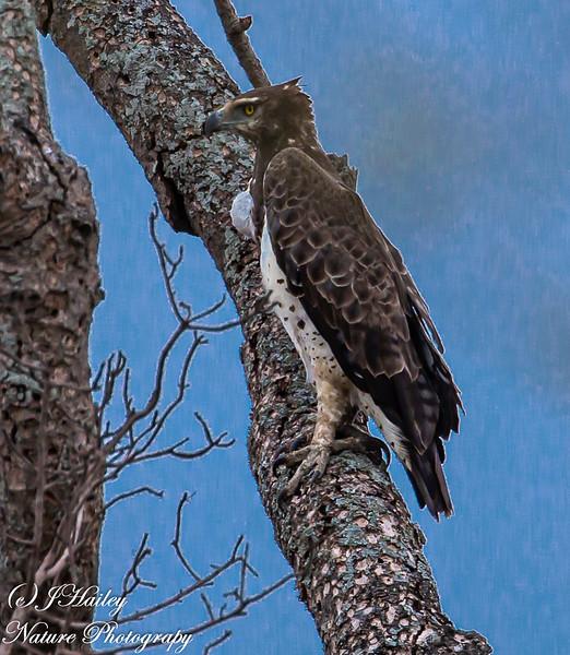 Martial Eagle, Polemactus bellicosus