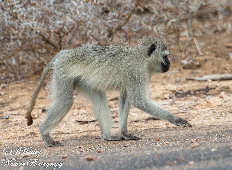 Vervet Monkey, Cercopithecus pygertthrus