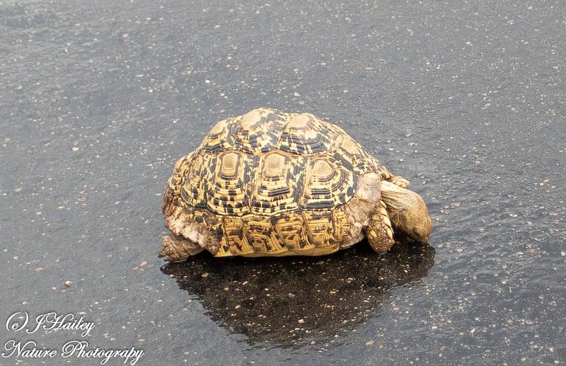 Leopard Turtle, Stigmochlys pardalis