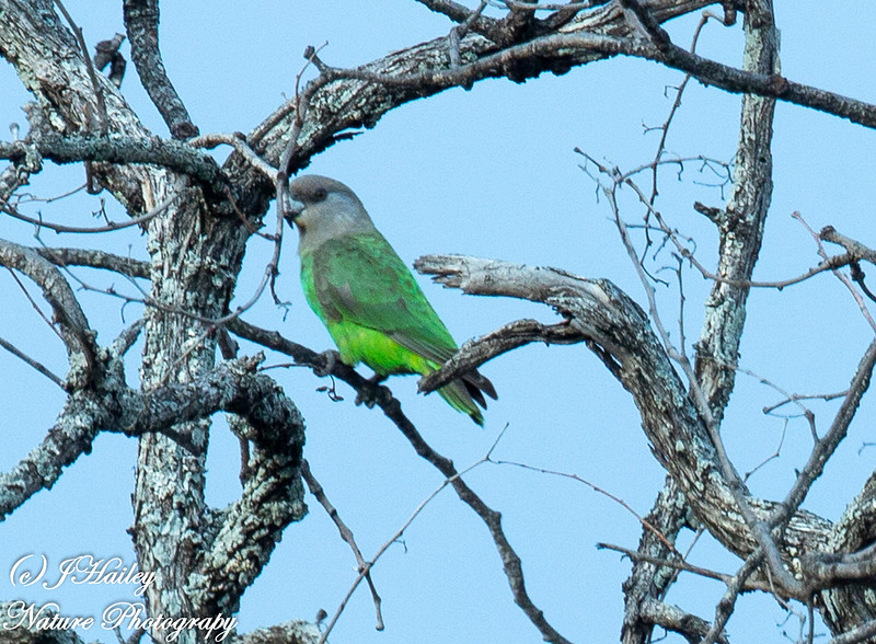 Brown-headed Parrot, Poicephalus cryptoxanthus