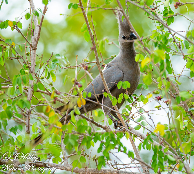 Grey Go-awau-bird, Corythaixoides concolor