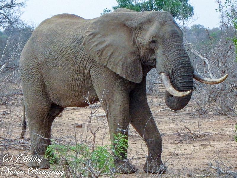 Savannah Elephant, Loxodaota africana africana