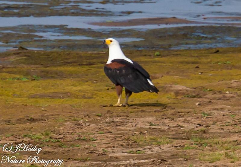 African Fish Eagle, Haliaeetus vocifer