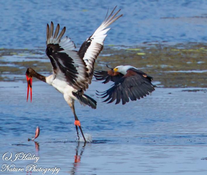 Fish Eagle/Saddle-billed Stork,