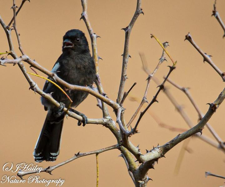 Southern Black Tit, Parus niger