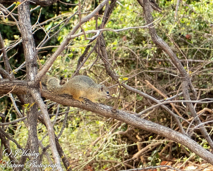Tree Squirrel, Paraxerus cepapi