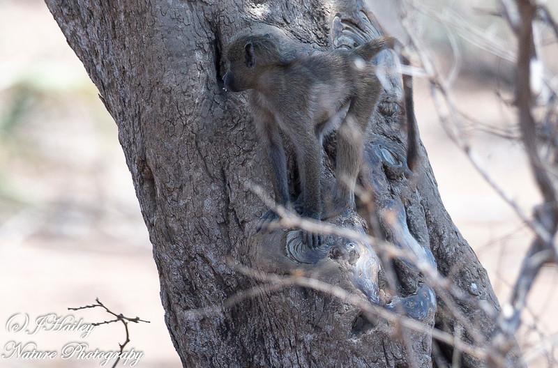 Savana (Chacma) Baboon, Ppio cynocephalus