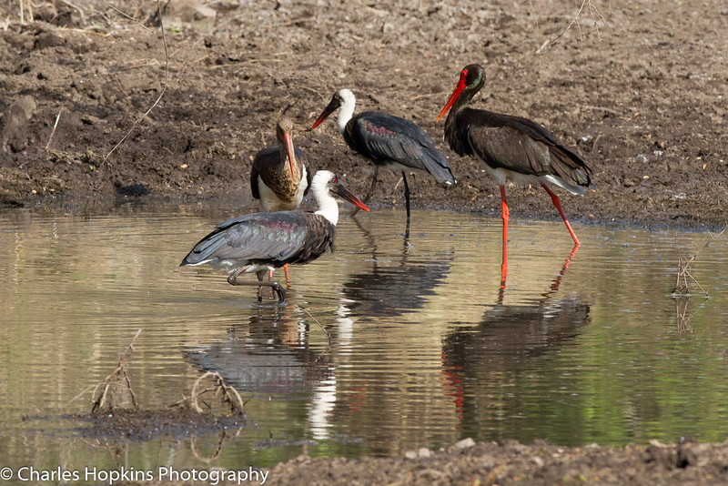 Black Stork and Woolly-necked Stork