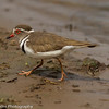 Three-banded Lapwing aka Three-banded Plover