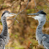 Grey Heron sub-adults