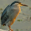 Green-backed Heron aka Straited Heron