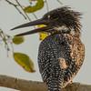 Giant Kingfisher