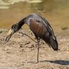 African Openbill aka Openbilled Stork