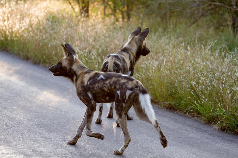 African Wild dog aka African Painted dog aka Cape hunting dog