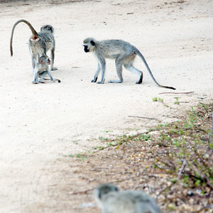 Vervet Monkey Games