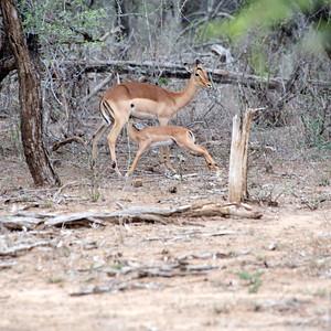 Impala Baby Nursing