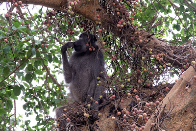 Baboon in a Marula Tree