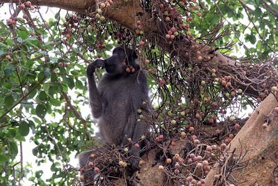 Baboon in a Marula Tree