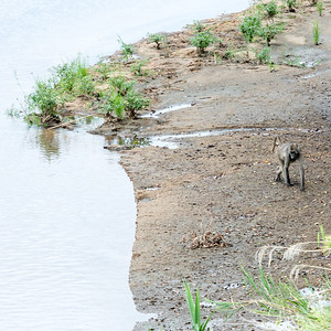 Baboon on Sabie River