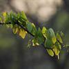 072 Mopani tree