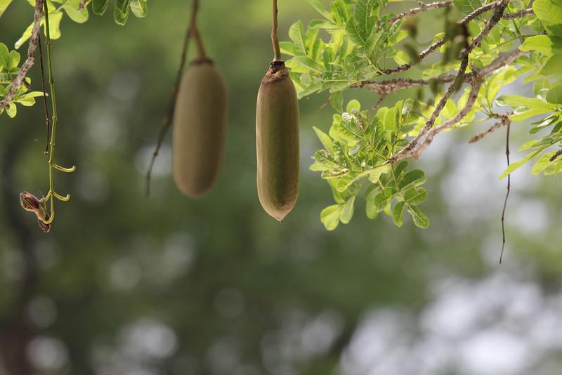030 Sausage fruit