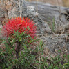 061 Protea flower