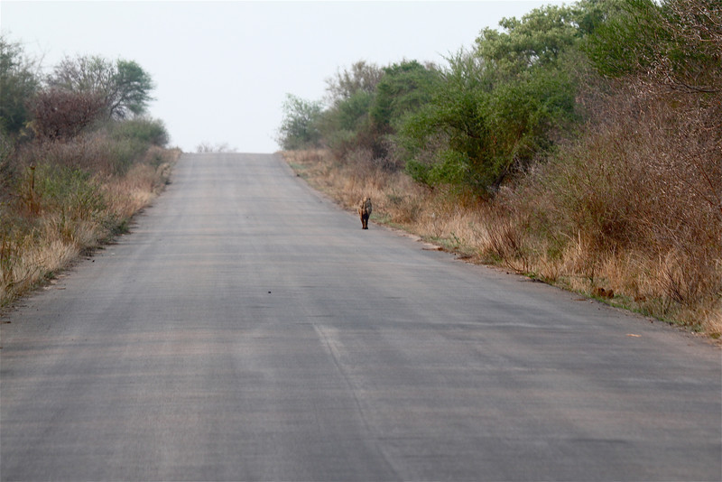 074 Kruger roads - early morning a hyena trots along the road in the quiet before the tourists are out of the camps