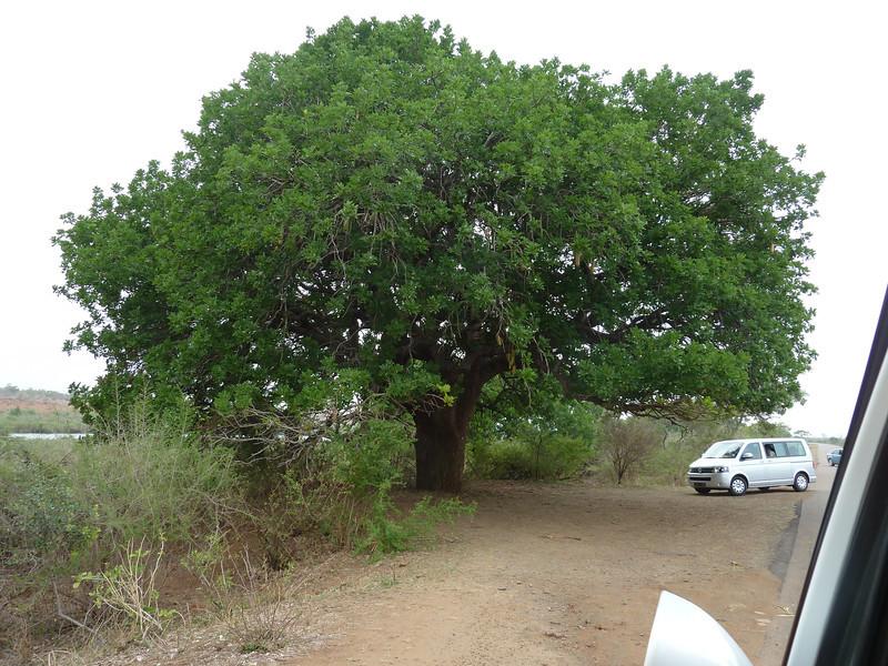 031 Sausage fruit tree