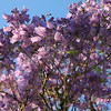 016 Thokozani Lodge garden - Jakaranda Flowering tree