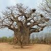 057 Baobab tree