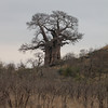 058 Baobab tree