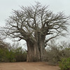 056 Baobab tree - some of these big ones are over 1000 years old