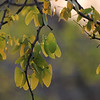 071 Mopani tree - notice the unusual leaf shape