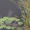 082 A kingfisher at a tranquil pond