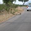 075 Kruger roads - the cheetah was lying on the road, it was not hit by a car. It got up and moved on when it had had enough of us.