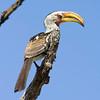 yellow-billed hornbill.jpg