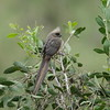 speckled_mousebird.JPG