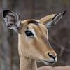 impala_female.JPG