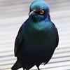 glossy_starling1.JPG