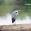 black-headed_heron.jpg