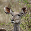 kudu_female.JPG