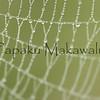 Punaewele<br /> (c) Pualani Kanahele/Ulumauahi Kealiikanakaole