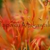 Ohia Lehua<br /> (c) Pualani Kanahele/Ulumauahi Kealiikanakaole