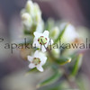 Pukiawe<br /> (c) Pualani Kanahele