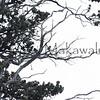 (c) Kauila Kealiikanakaole