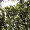 Kamani canopy<br /> (c) Kuulei Kanahele