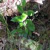 Maile<br /> (c) Huihui Kanahele-Mossman