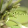 (c) Pualani Kanahele/Ulumauahi Kealiikanakaole