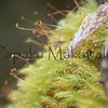 Moss<br /> (c) Pualani Kanahele/Ulumauahi Kealiikanakaole