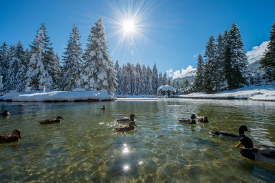 Ducks swimming on a lake at a freezing and sunny day